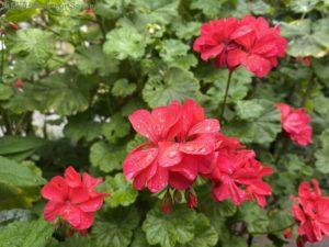 雨上がりの赤い花